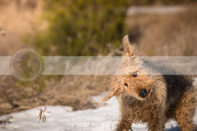 humorous photograph of groomed airedale shaking off snow