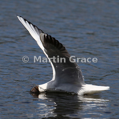 Crash landing by Black-Headed Gull (Larus ridibundus)