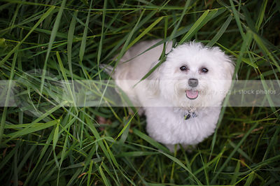 overhead stock photo of little white groomed dog looking up from grasses