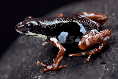 "Strawberry dart frog (Oophaga pumilio) ""Bocas del Toro"" photos"