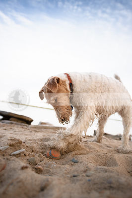 fun wirehaired terrier digging for ball on beach