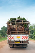 Wagon loaded with banas and cattle on Ugandan road.