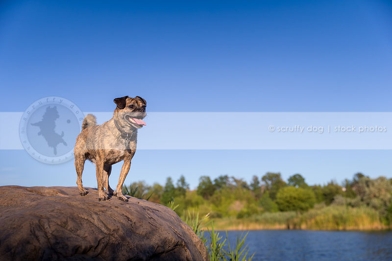 brindle puggle dog perching on rock at river under sky