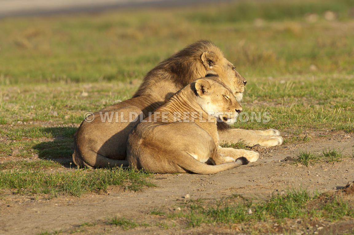 Lion and Lioness Resting Together