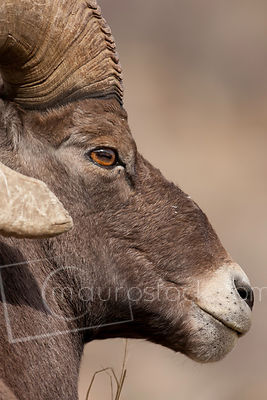 Big Horn Sheep_Q8J2885