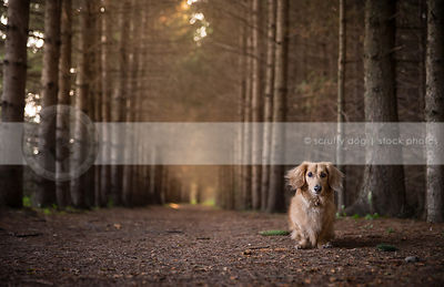 tan longhaired dachshund alone in forest of pine trees