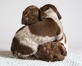 Three Pointer Puppies Sleeping in Pile Against White Background