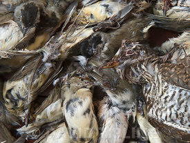 Seized dead birds from raid on illegal trapping operatuon by the Game Fund in Republic of Cyprus area, birds include Cuckoo, many Blackcaps, Spotted Flycatchers, Leeser Whitethroat, Masked Shrike and Willow Warblers.  They are trapped for a food delicacy known as ambelopoulia.