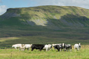 Herd of Pedigree British Blue cattle on upland pasture in North Yorkshire, with Penyghent in background, UK.