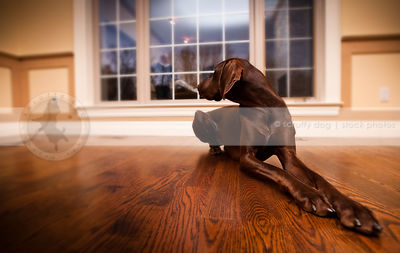 beautiful brown shorthaired dog lying on hardwood floor indoors