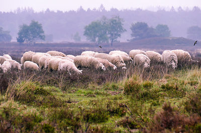 Flock of sheep on the Ermelosche heide