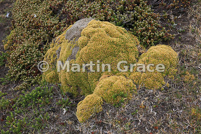 Azorella species, Saunders Island, Falkland Islands