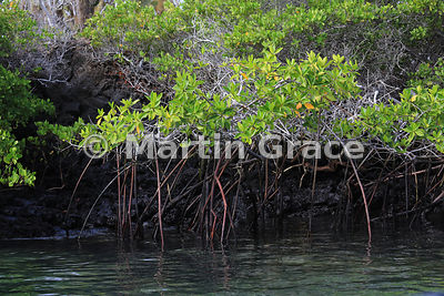Red Mangrove (Rhizophora mangle), Bahia Ballena, Santa Cruz, Galapagos