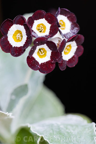 Auricula 'Nocturne'. Summerdale House, Lupton, Cumbria, UK