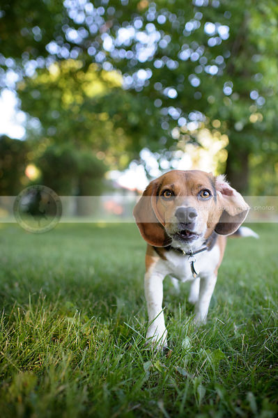 tricolor beagle dog with flipped ear walking to camera in mowed grass