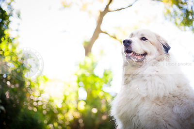 portrait of proud white dog slobbering with bokeh background