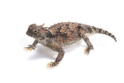 Desert horned lizard / Phrynosoma platyrhinos photos