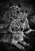 5687-Four_lions_in_the_bush_Kenya_2013_Laurent_Baheux