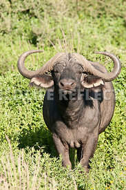 cape_buffalo_bull_lone_greenery_1