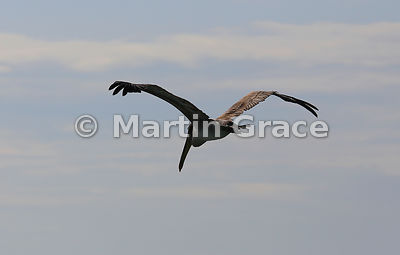 Brown Pelican (Pelecanus occidentalis urinator) in flight from the rear, Cerro Brujo, San Cristobal, Galapagos