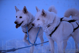 Huski Dogs in Winter