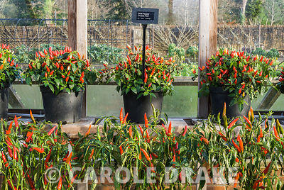 Pots of chillis covered with fruit in the greenhouse with Chilli pepper 'Prairie Fire' on the top shelf. RHS Garden Rosemoor, Great Torrington, Devon, UK