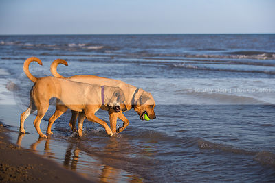 two tan dogs playing keep away with ball on lake shore with waves