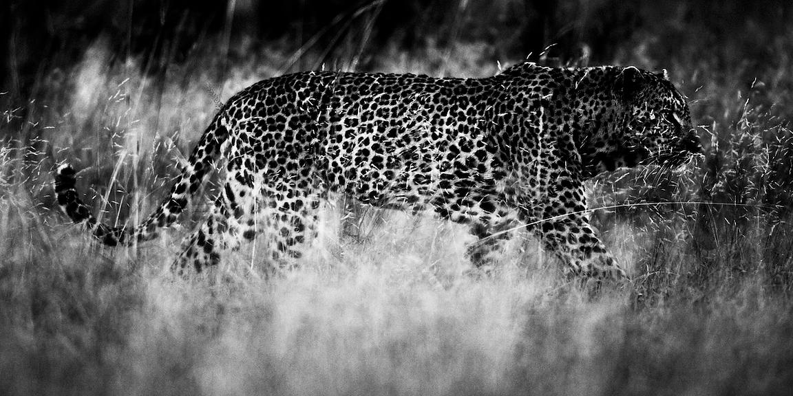 4370-Leopard_in_the_grass_Laurent_Baheux