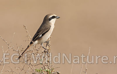 Turkestan shrike - UAE