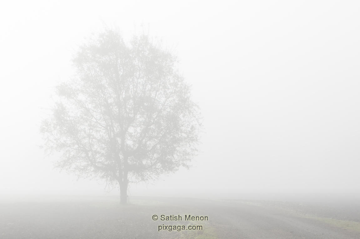 Tree in heavy fog, Morgan Hill, CA, USA