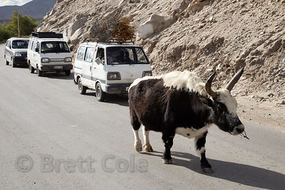 A slow-moving Yak or dong (B. grunniens) holds up traffic near Leh, Ladakh, India