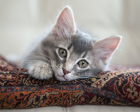 Close-up of Cute Grey Kitten with Grey Eyes