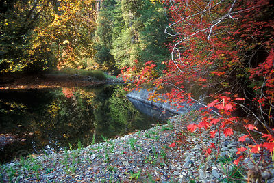 Autumn colors along the Sol Duc River, Olympic Rainforest, Washington.