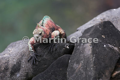 Marine Iguana male (Amblyrhynchus cristatus venustissimus) in breeding colouration, walks over rocks on the cliff top at Punta Suarez, Espanola, Galapagos