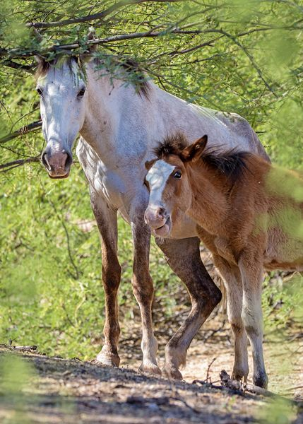 Wild Horse and Foal Together