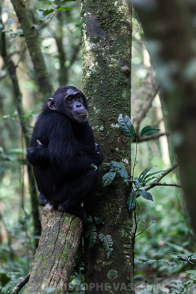 Chimpanzee of Kibale