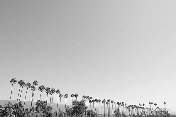 PALM TREES SANTA BARBARA BLACK AND WHITE