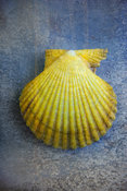 Botanical Gallery | Scallop Shell Photography