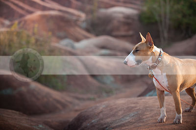 portrait of bull terrier dog standing on red clay ridge
