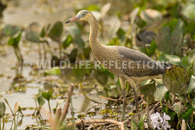 whistling_heron_marsh_hunting-12