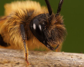 Andrena tibialis , male