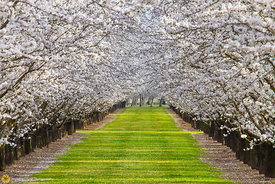 Almonds in Bloom near Durham #10