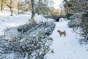 Icy river flows under Eleanor's Bridge, edged with azaleas covered with snow. Minterne, Minterne Magna, Dorchester, Dorset, DT2 7AU, UK