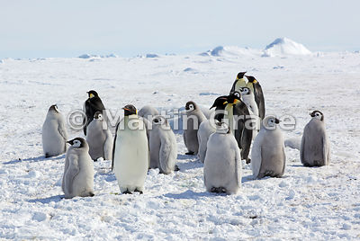 Emperor Penguin (Aptenodytes forsteri) adults and chicks by Snow Hill Island, Weddell Sea, Antarctica