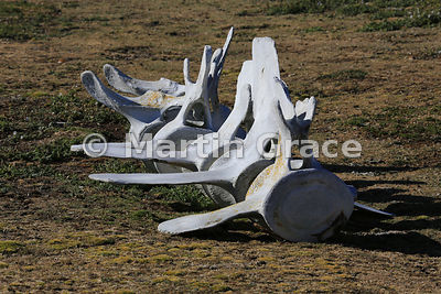 Whale vertebrae, Carcass Island, Falkland Islands