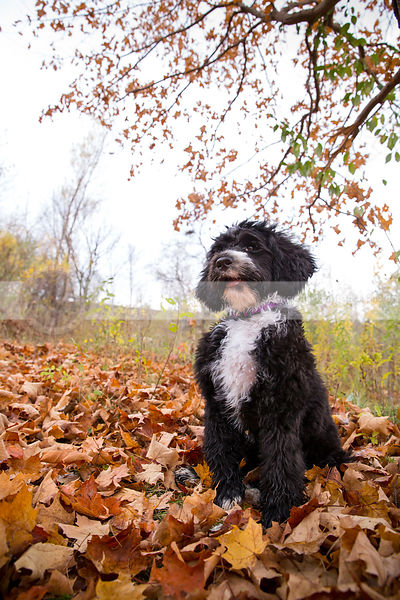 groomed black and white puppy posing in autumn clearing