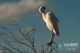 White Egret - Oh that Itch