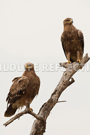 steppe_eagle_dual_branch_5