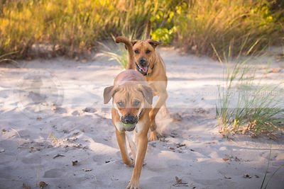 two tan cross breed dogs playing keep away in sand