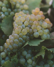 grapes_pale